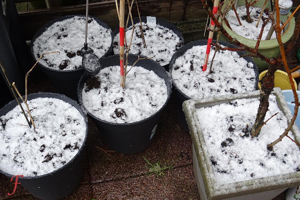 Snow Planting In April